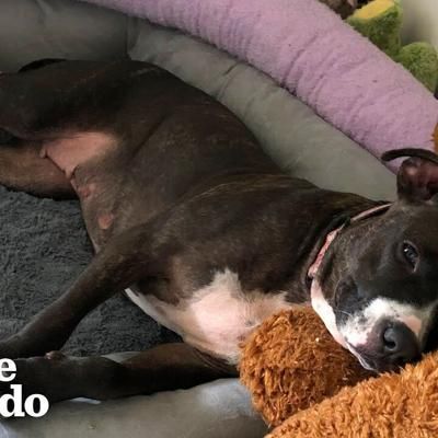 Pittie Rescued From A Chain LOVES Stuffed Animals  | The Dodo Foster Diaries