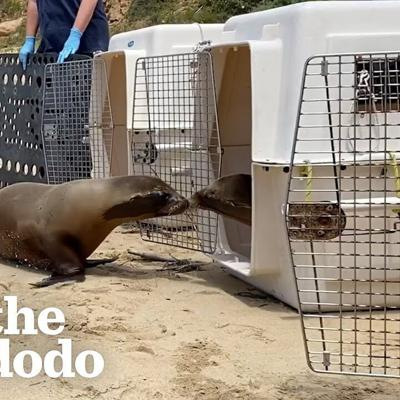 Baby Sea Lion Scared To Go Back To The Ocean Gets A Little Help From Her Best Friend | The Dodo