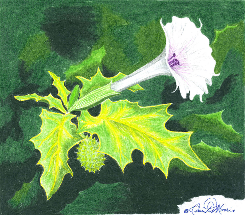Orrin Morris Jimsonweed Also Known As Devils Trumpet Poisonous