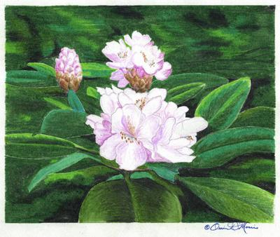 ORRIN MORRIS: Rhododendron reminds us of God's 'holy attire'