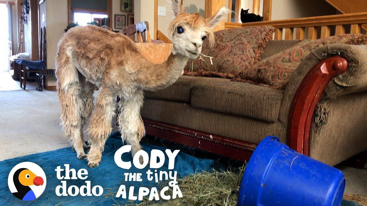 Meet The World's Smallest, Cutest, Most Spoiled Alpaca | Cody The Tiny Alpaca (Series Trailer)