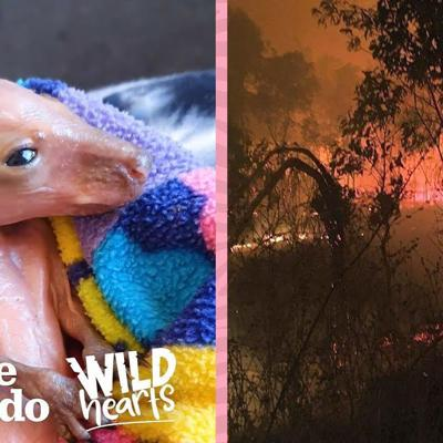 Tiny Pink Baby Wallabies Are Being Saved From The Australia Fires  | The Dodo Wild Hearts