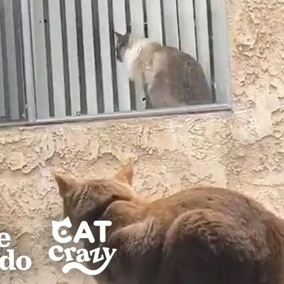 These Cat Neighbors Fall In Love Through Their Windows | The Dodo Cat Crazy