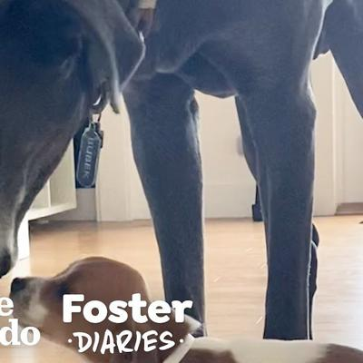 120-Pound Grumpy Dog Finally Falls In Love With His Mom's Foster Puppies  | The Dodo