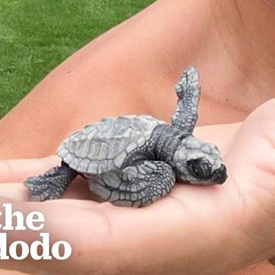Family Comes Across Tiny Sea Turtle Eggs, See What Happens When They Hatch! | The Dodo