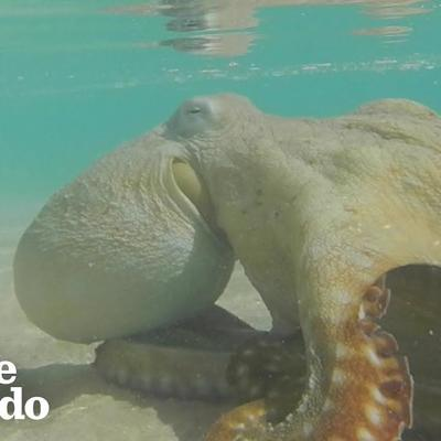 Octopus Thanks The People Who Saved His Life | The Dodo
