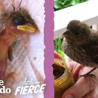 Woman Finds A Baby House Finch Bird On Her Porch | The Dodo Little But Fierce