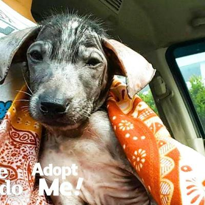 Hairless Puppy Was Found In A Trash Can, Now Is Looking For Her Forever Home | The Dodo Adopt Me!
