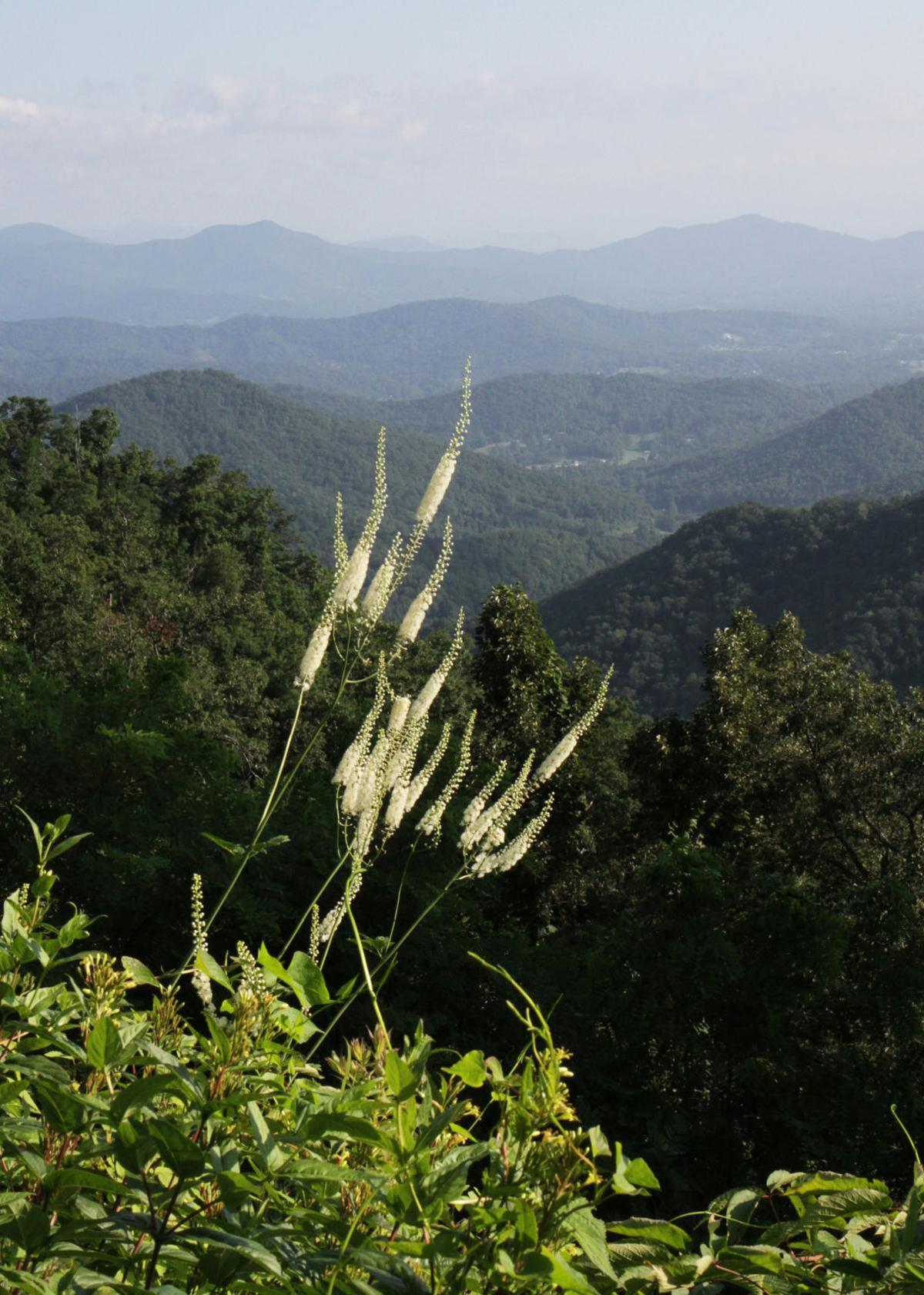 Actaea racemosa will stuart 4.jpg