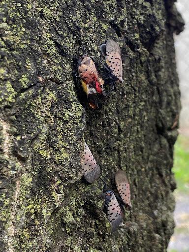 Lanternflies 1.jpg