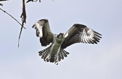 Osprey young