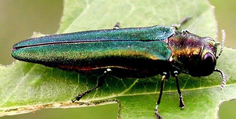 Emerald Ash Borer, U.S. Forest Service