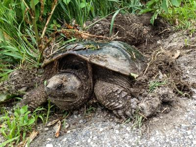 Vt. F&W snapping turtle