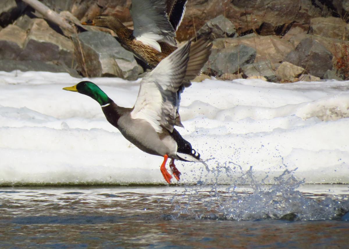 mallards take flight.JPEG