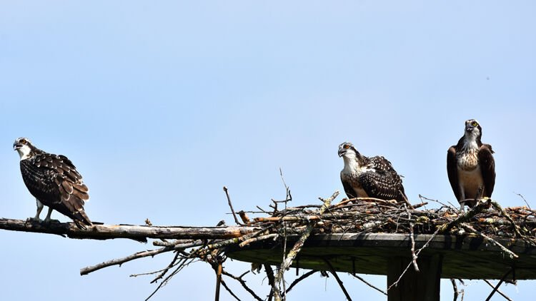 Osprey group