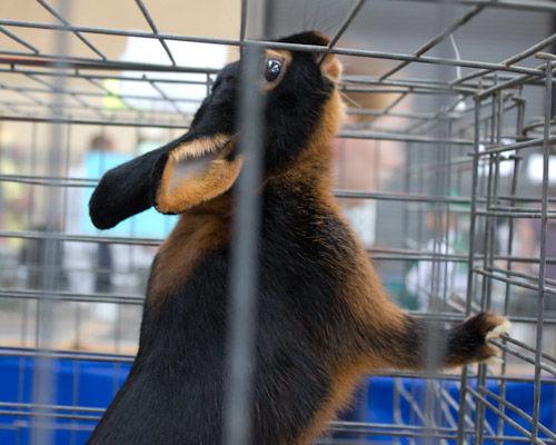 Bunnies at the Fair