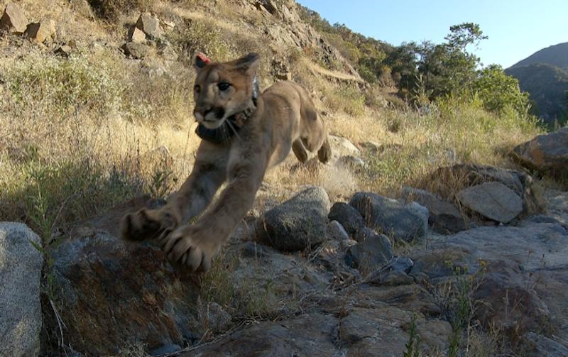 MMGN - Mountain Lion cub