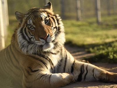 Lions Tigers & Bears / Lion