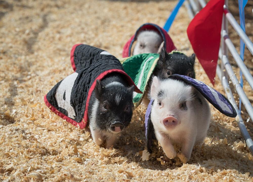 SD Fair - racing pigs