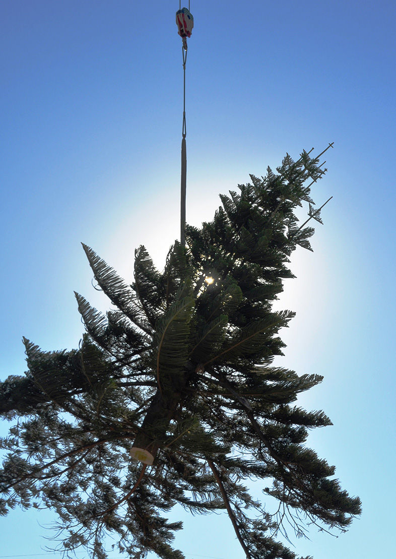 The tree becomes airborne after being removed from its 114-year-old base .