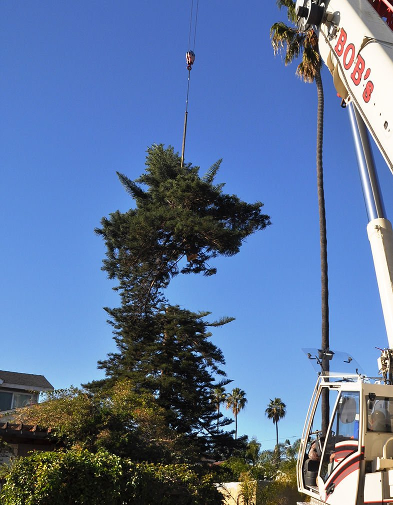 A super crane removes the top 40 feet of a 120–foot star pine from the backyard of an Ocean Beach family.