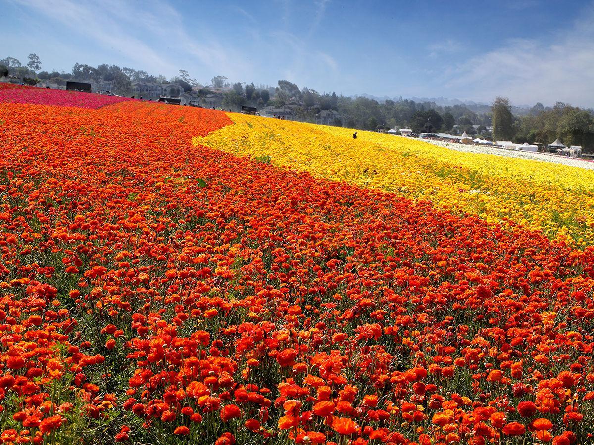 March 2020 – Flower Fields