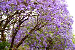 It's Jacaranda Time!