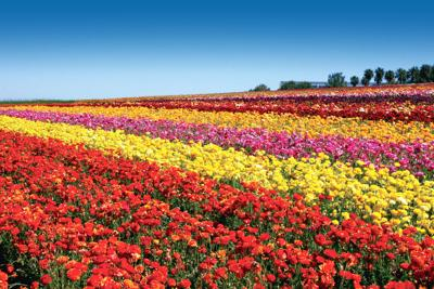 Things to Do Flower Fields