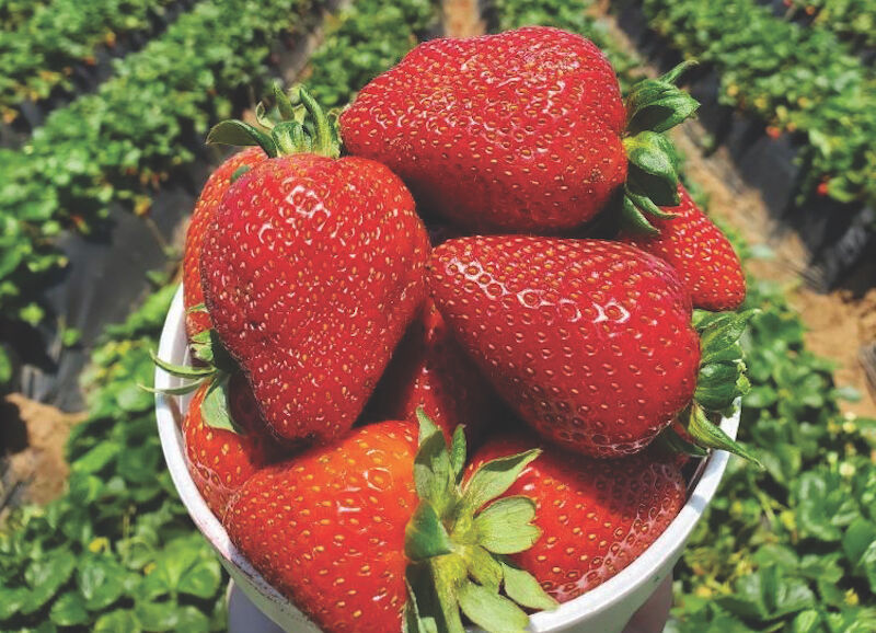 Farm tours main - Carlsbad Strawberry Company