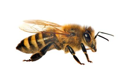 Dinner Party Fodder: UCSD Research on Honeybees