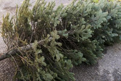 When Your Christmas Tree Turns Brown, Stay Green by Recycling It