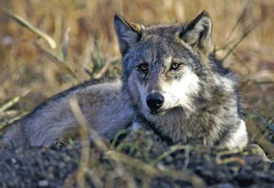 Ladder Ranch wolf program resumes with state's OK