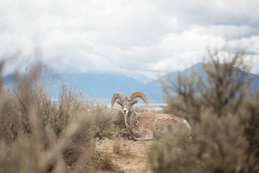 Big horns to be moved to Southern New Mexico