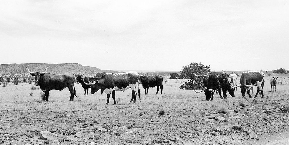Trail Dust: Why early New Mexico turned from cattle to sheep