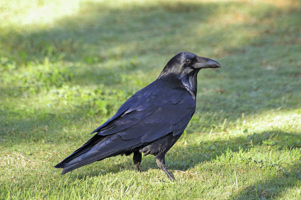 Clever Crows Smart Ravens Common In Santa Fe Outdoors