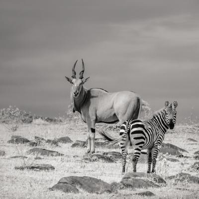 shy eland with zebra marilyn maxwell