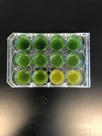 Using algae to try and solve the plastic problem