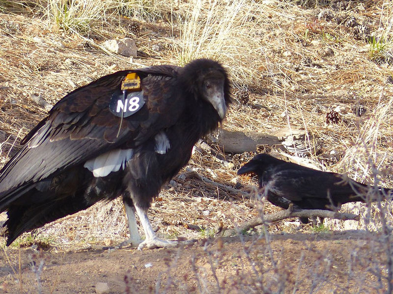 Rare California condor spotted in Los Alamos