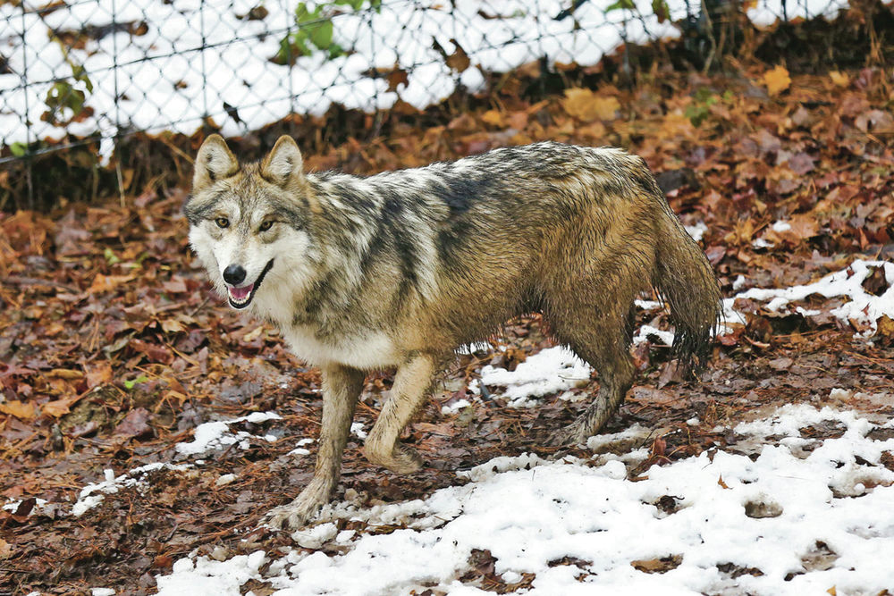 Feds Wild Population Of Mexican Gray Wolves Growing