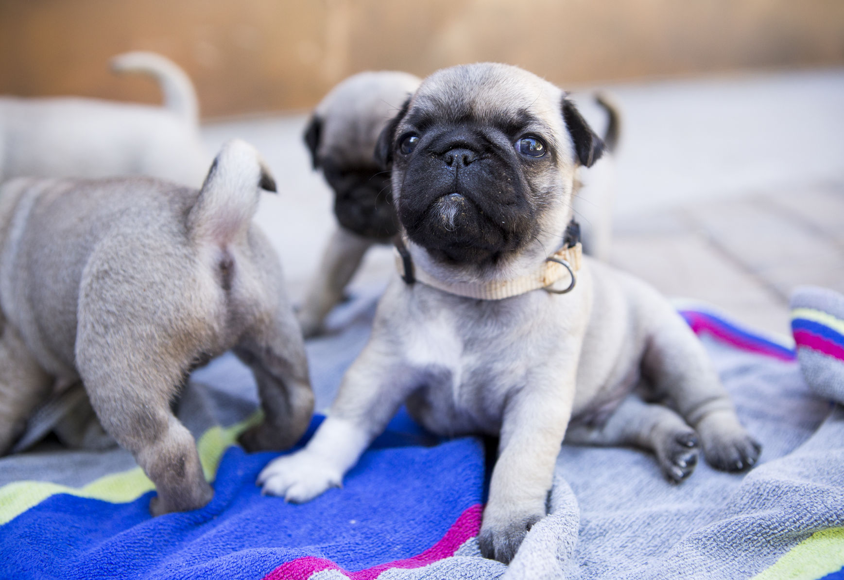 Would Be Santa Fe Pug Breeders Find Large Litter A Handful Local News Santafenewmexican Com