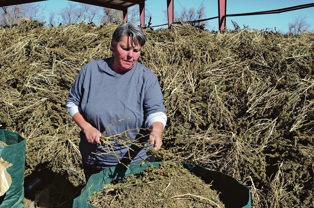 Hemp: New Mexico industry growing like a weed