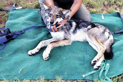 Advocates go after rancher's forest permit after wolf's death