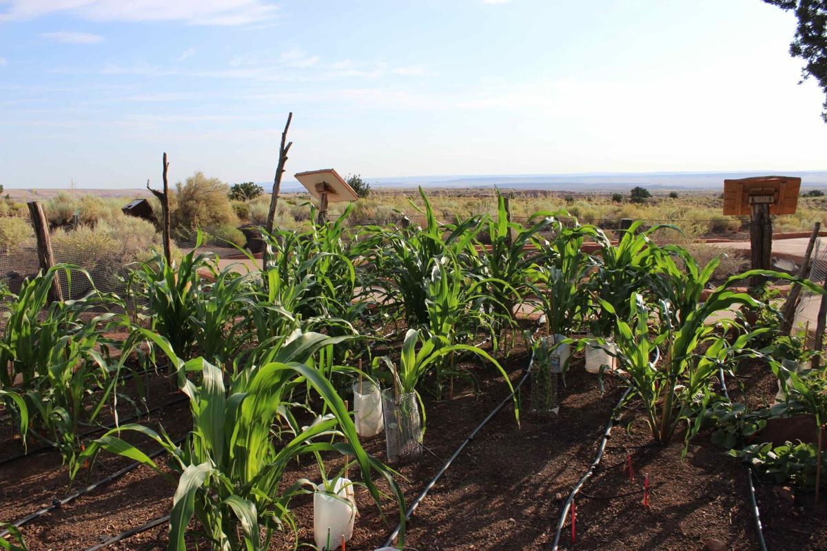 Hopi corn planting.jpg