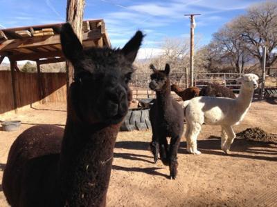 Sheriff investigates dog attack against alpacas, goats