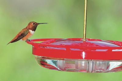 Bird-feeding 2.0 and the amazing rufous hummingbird