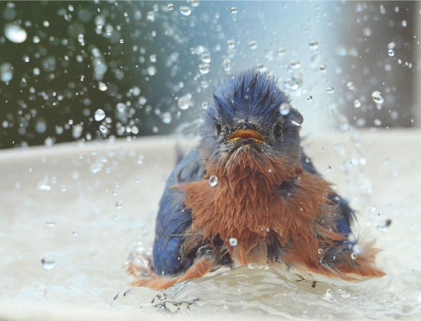 MstrGrdnrs.bluebird.jpg