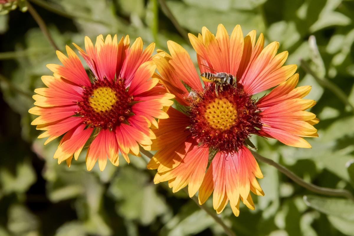 Gaillardia pulchella-bee-3105-3.jpg