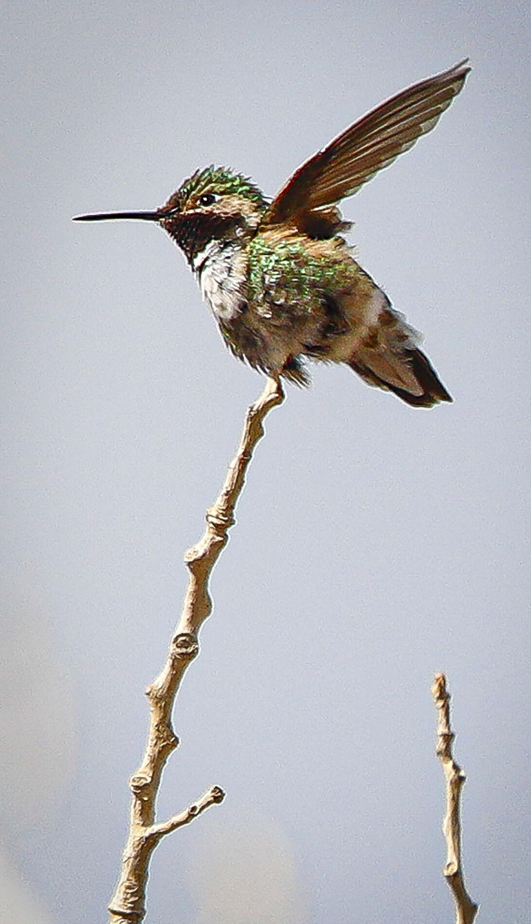 043021_Hummingbird04-rgb_secondary.jpg