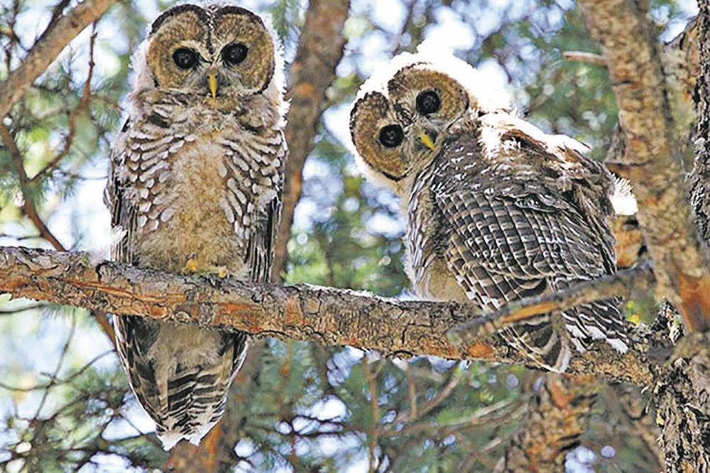 Recent court order hurts owls, humans
