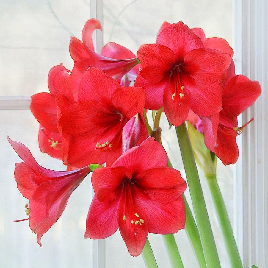Looking Forward To Amaryllis Blooms Homereal Estate